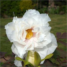Photo de Pivoine arbustive blanche