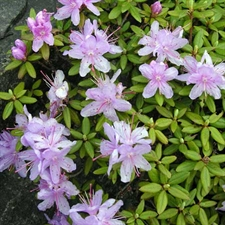 Photo de Rhododendron nain 'Ramapo'