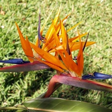 Photo de Strelitzia reginae, Oiseau de Paradis