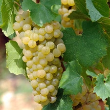 Photo de Vigne cépage Chardonnay