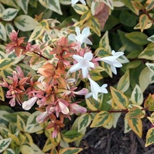 Photo de Abelia grandiflora Kaleidoscope