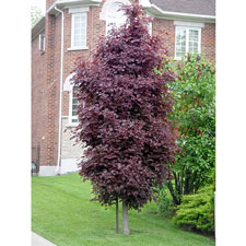 Photo de Acer platanoides Crimson Sentry