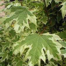 Photo de Acer platanoides Drummondii