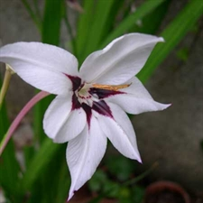 Photo de Acidanthera, glaïeul d'Abyssinie