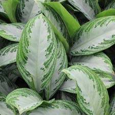 Photo de Aglaonema