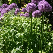 Photo de Allium Gladiator
