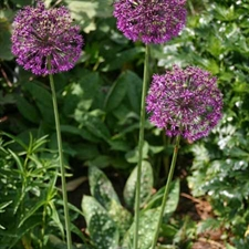 Photo de Allium aflatunense Purple Sensation