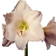 Photo de Amaryllis Blanc syn. Christmas gift