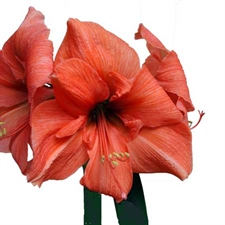 Photo de Gros bulbes d'Amaryllis (Hippeastrum) 'Desiree'(syn. Orange')cal 30+