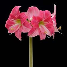 Photo de Amaryllis Neon