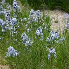 Photo de Amsonia tabernaemontana