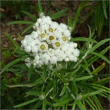 Photo de Anaphalis margaritacea Neuschnee, Immortelle d'Argent
