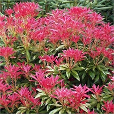 Photo de Pieris japonica Forest Flame