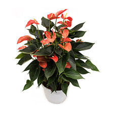Photo de Anthurium orange