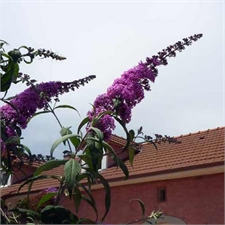 Photo de Arbre aux papillons Peacok, Buddleia davidii
