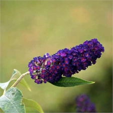 Photo de Arbre aux papillons black knight, Buddleia davidii