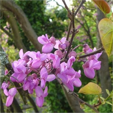 Photo de Arbre de Judée, Cercis siliquastrum