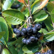 Photo de Aronia melanocarpa, Aronie à fruits noirs