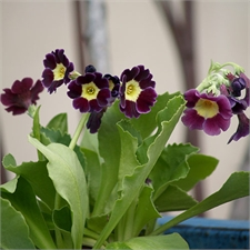 Photo de Primula auricula, Auricule alpine
