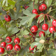 Photo de Azérolier, Crataegus azarolus
