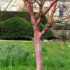 Photo de Bouleau rouge de Chine, Betula albosinensis
