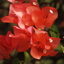 Photo de Bougainvillier Scarlet o'hara