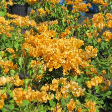 Photo de Bougainvillier California Gold