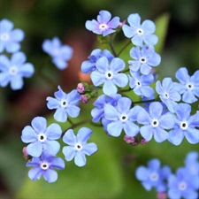 Photo de Brunnera macrophylla