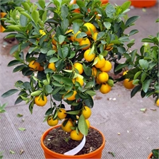 Photo de Calamondin sur tige, Citrus mitis