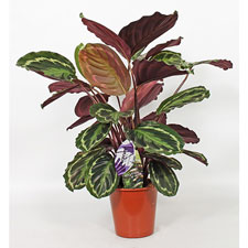 Photo de Calathea