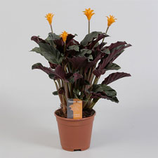 Photo de Calathea Crocata