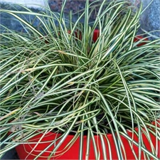 Photo de Graminée - Carex 'Everest'