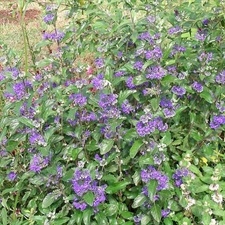 Photo de Caryopteris Heavenly Blue