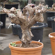 Photo de Pied de vigne 30 ans (raisin blanc)