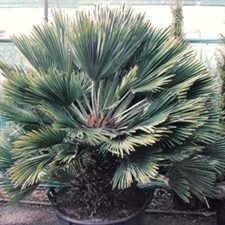 Photo de Chamaerops humilis Vulcano