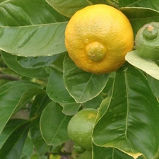 Photo de Citronnier doux, Citrus limetta Purscha, Limette douce de Tunisie