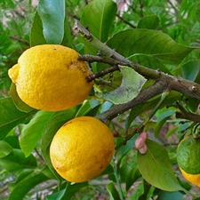 Photo de Cédratier, Citrus medica