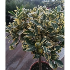 Photo de Calamondin panaché, Citrus mitis Variegata
