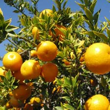 Photo de Citrus myrtifolia Chinotto, Mandarinier chinois