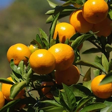 Photo de Mandarinier satsuma, Citrus unshiu