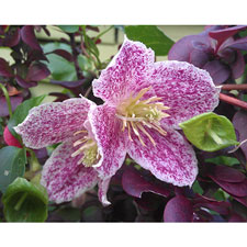 Photo de Clematite cireuse Freckles ®