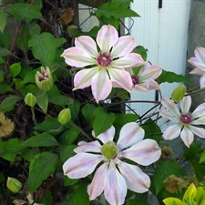 Photo de Clematis pat. 'Capitaine Thuilleaux'