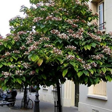 Photo de Clerodendron trichotomum