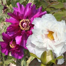 Photo de Collection de 2 Pivoines arbustives : blanche et mauve