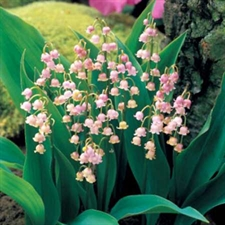 Photo de Muguet rose, Convallaria rosea