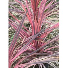 Photo de Cordyline australis Pink Fire