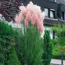 Photo de Cortaderia selloana Rosea, Herbe de la Pampa rose