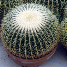 Photo de Coussin de Belle-Mère - Echinocactus grusonii