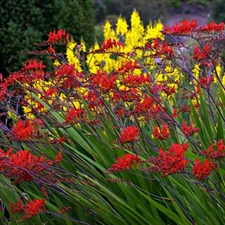 Photo de Crocosmia Lucifer