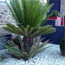 Photo de Cycas du Japon, Cycas revoluta